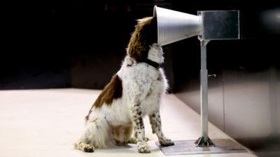 Floki é um springer spaniel inglês que está sendo treinado para detectar COVID-19 na Austrália. Kelly Barnes/Getty Images