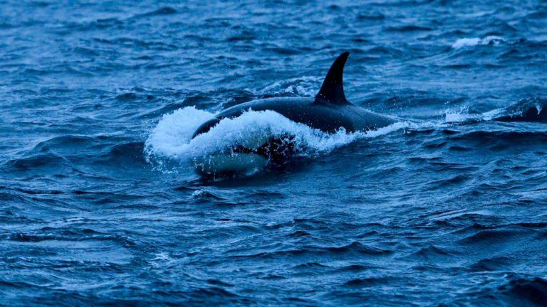 Por algum motivo desconhecido, orcas estão atingindo barcos no norte da Espanha