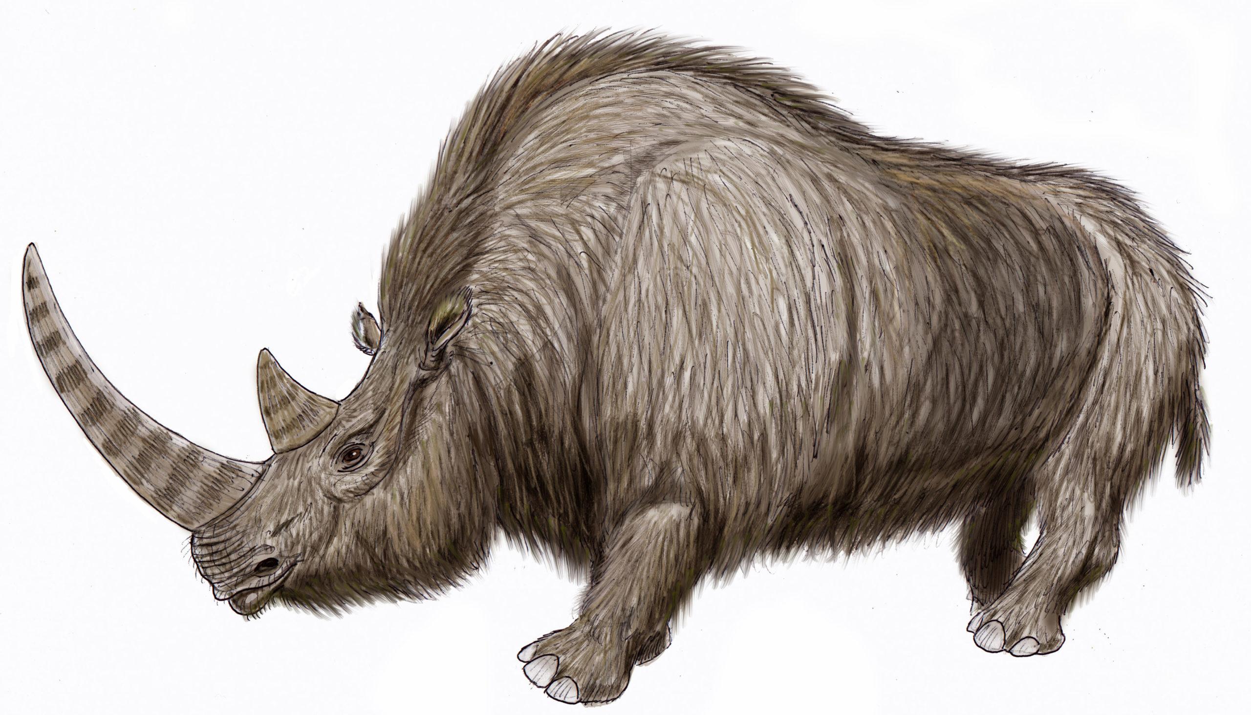 Reconstrução artística de rinoceronte lanoso. Crédito: Wikimedia Commons