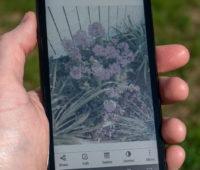No entanto, as imagens captadas pelo Hisense A5C não ficam bonitas em sua tela e-ink. O brilho da cor lilás dessas flores é quase imperceptível