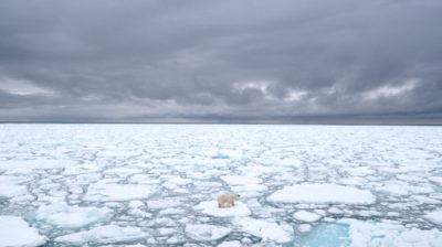 Urso em calote de gelo. Crédito: BJ Kirschhoffer/Polar Bears International