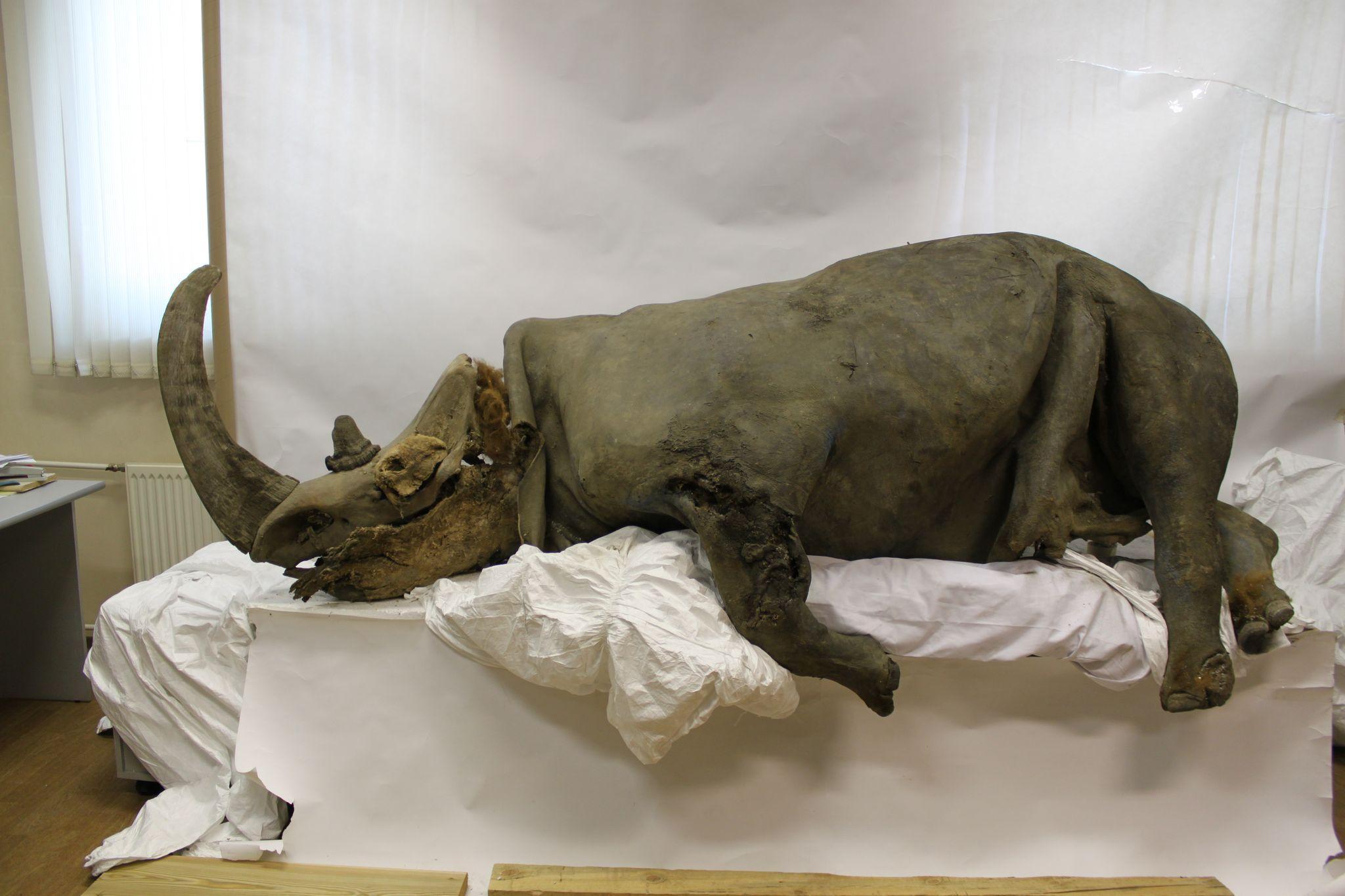 Rinoceronte lanoso. Crédito: Sergey Fedorov