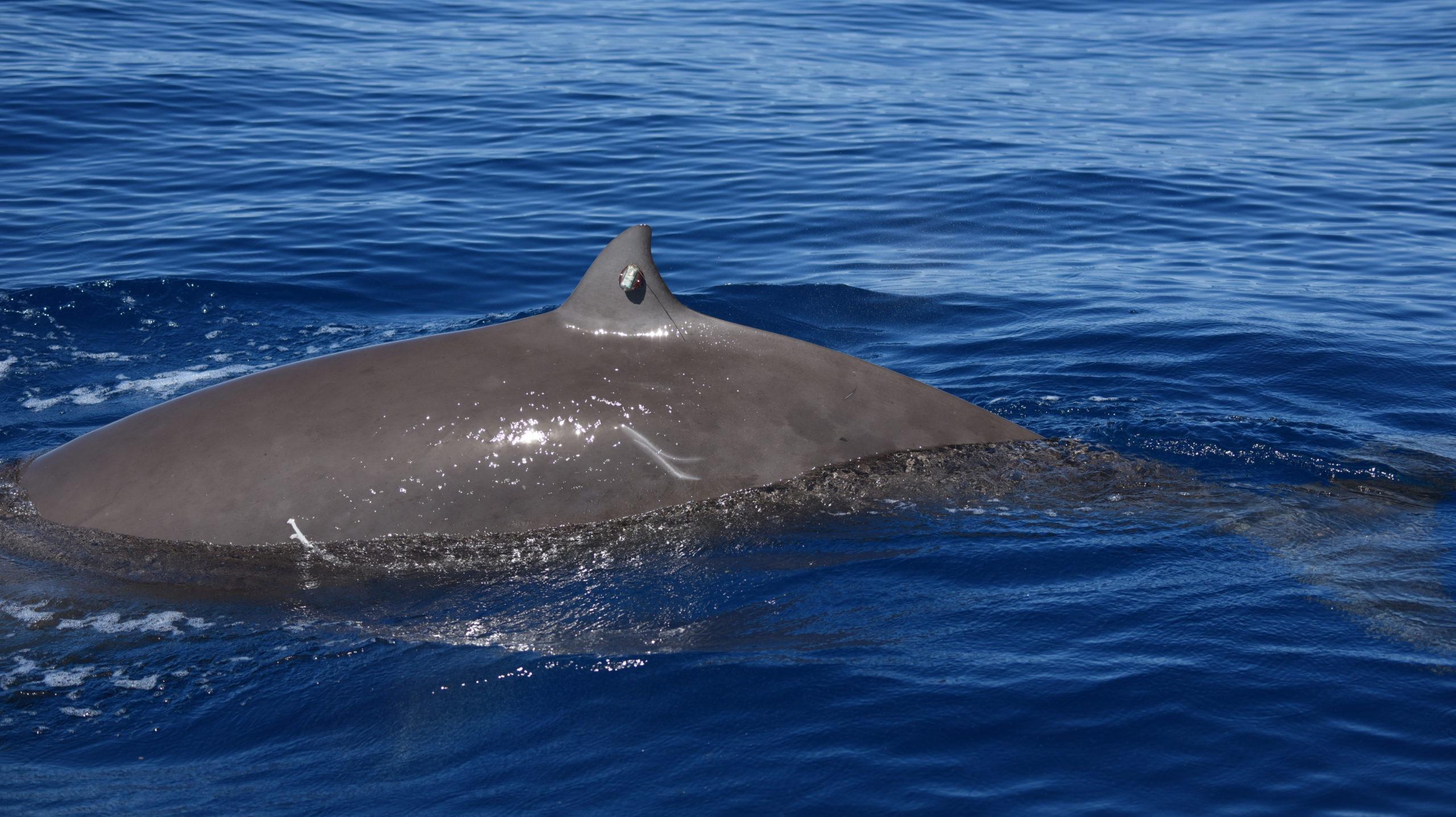 Baleia surpreende cientistas ao ficar quase 4 horas submersa. Crédito: NOAA