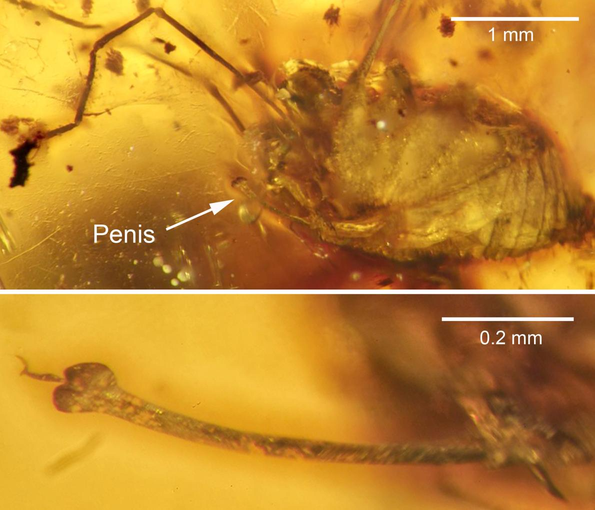 Acima: aranha com a identificação de seu pênis. Abaixo: close do falo da aranha. Crédito: J. A. Dunlop et al., 2016