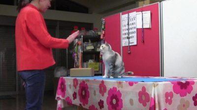 Esta gatinha é tão esperta que aprendeu a copiar os movimentos de sua dona. Crédito: Fugazza et al/Animal Cognition