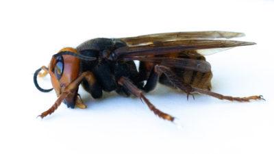 Uma espécime de vespa asiática gigante coletada por entomologistas do Departamento de Agricultura do Estado de Washington em julho deste ano. Crédito: Karen Ducey/Getty Images