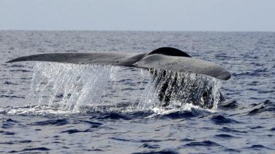 Baleia Azul. Imagem: Ishara S. Kodikara (Getty Images)