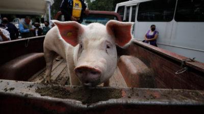 Porcos com ebola. Imagem: Rebecca Blackwell (AP)