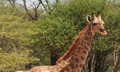 Esta girafa anã foi encontrada na Namíbia. Foto: Michael B Brown.