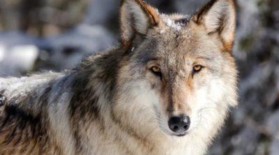 Um lobo cinzento ocidental. Imagem: Jacob W. Frank (AP)