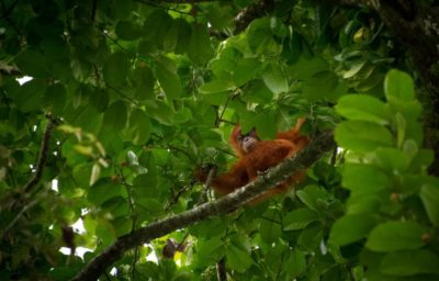 Um orangotango na Indonésia, um dos hotspots de biodiversidade descritos pela equipe de pesquisa. Foto : CHAIDEER MAHYUDDIN/AFP via Getty Images (Getty Images)