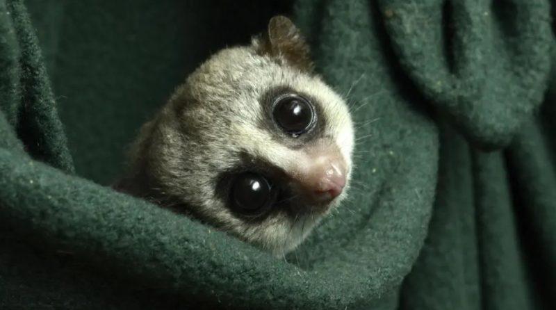 Um dos lêmures anões de cauda gorda do Duke Lemur Center. Foto: David Haring, Duke Lemur Center