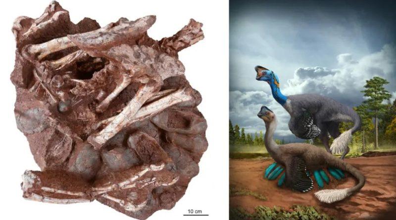 Esquerda: O novo fóssil preservando um dinossauro oviraptorídeo adulto com ovos contendo embriões. À direita: interpretação artística de um oviraptorídeo em nidificação. Imagem: Fóssil: Shundong Bi; Arte: Zhao Chuang.