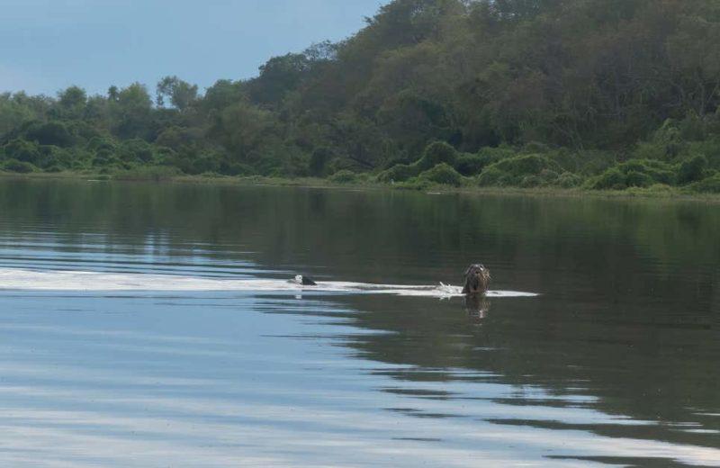 Lontra no rio argentino