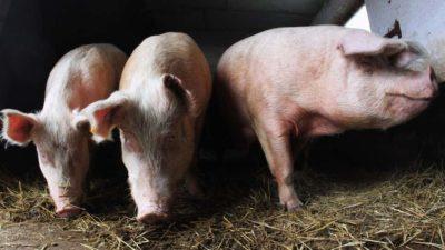 Os porcos conseguiram respirar pelo intestino quando receberam uma injeção retal de substância química oxigenada como parte de um novo estudo