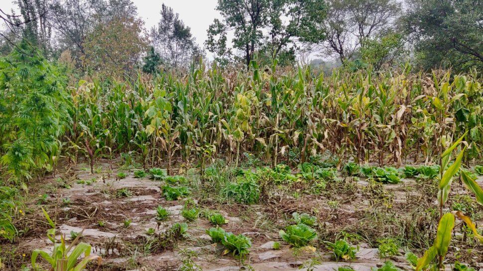 Plantas de cannabis cultivadas no nordeste da China. Imagem: Guangpeng Ren